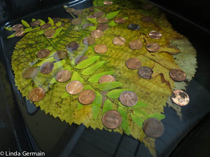 Sink leaves in water and glycerin mix for 2 to 3 days to preserve.
